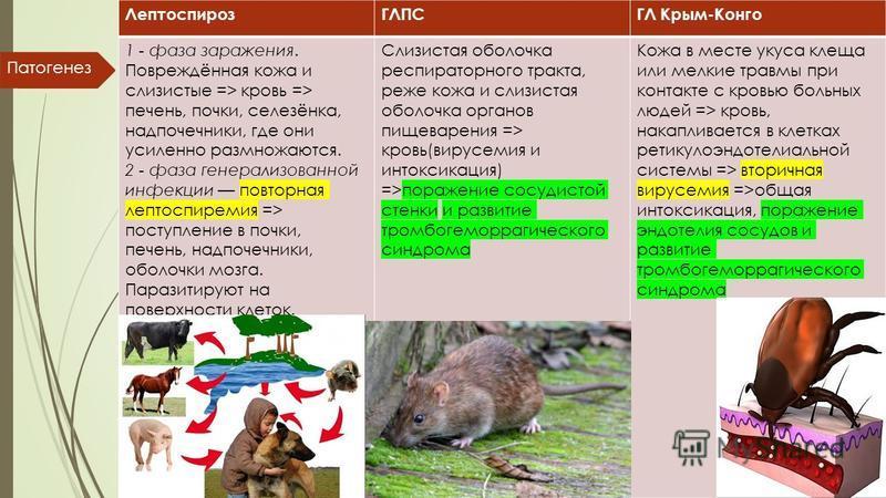 ЛептоспирозГЛПСГЛ Крым-Конго 1 - фаза заражения. Повреждённая кожа и слизистые => кровь => печень, почки, селезёнка, надпочечники, где они усиленно размножаются. 2 - фаза генерализованной инфекции повторная лептоспиремия => поступление в почки, печен