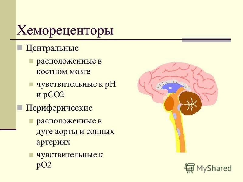 Хемореценторы Центральные расположенные в костном мозге чувствительные к рН и рСО2 Периферические расположенные в дуге аорты и сонных артериях чувствительные к pO2
