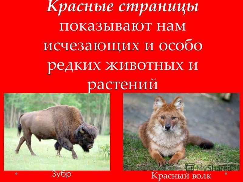 Красные страницы показывают нам исчезающих и особо редких животных и растений Зубр Красный волк