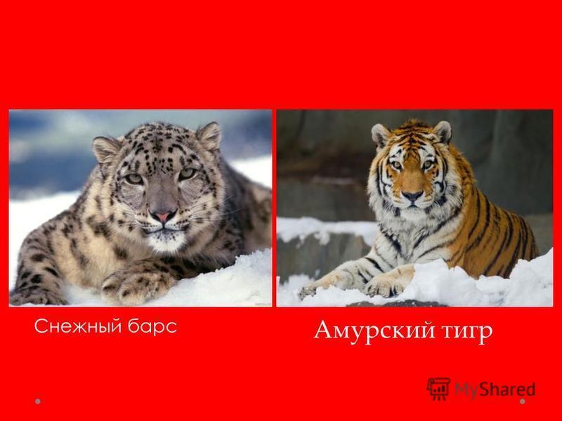 Снежный барс Амурский тигр