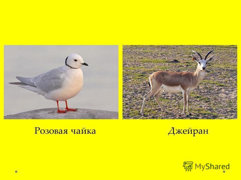 Розовая чайка Джейран
