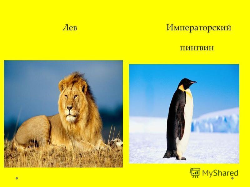Лев Императорский пингвин Лев Императорский пингвин