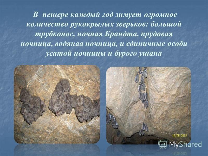 В пещере каждый год зимует огромное количество рукокрылых зверьков: большой трубконос, ночная Брандта, прудовая ночница, водяная ночница, и единичные особи усатой ночницы и бурого ушана
