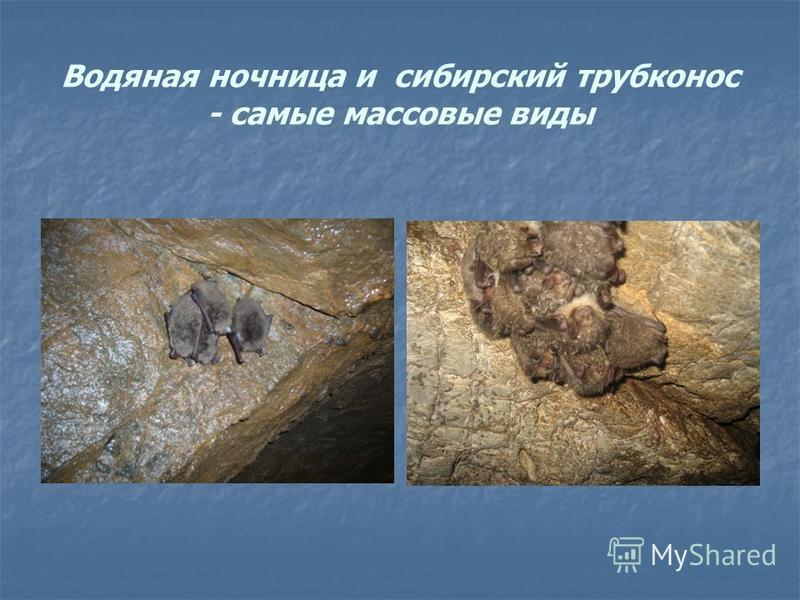 Водяная ночница и сибирский трубконос - самые массовые виды
