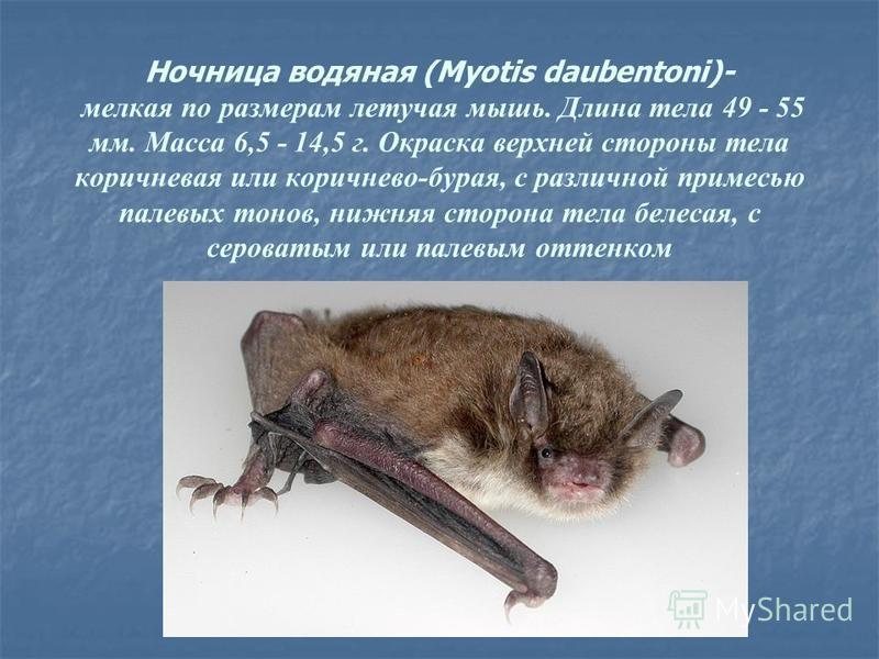 Ночница водяная (Myotis daubentoni)- мелкая по размерам летучая мышь. Длина тела 49 - 55 мм. Масса 6,5 - 14,5 г. Окраска верхней стороны тела коричневая или коричнево-бурая, с различной примесью палевых тонов, нижняя сторона тела белесая, с сероватым