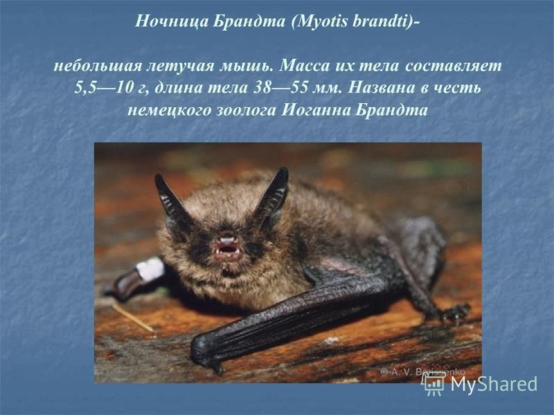 Ночница Брандта (Myotis brandti)- небольшая летучая мышь. Масса их тела составляет 5,510 г, длина тела 3855 мм. Названа в честь немецкого зоолога Иоганна Брандта