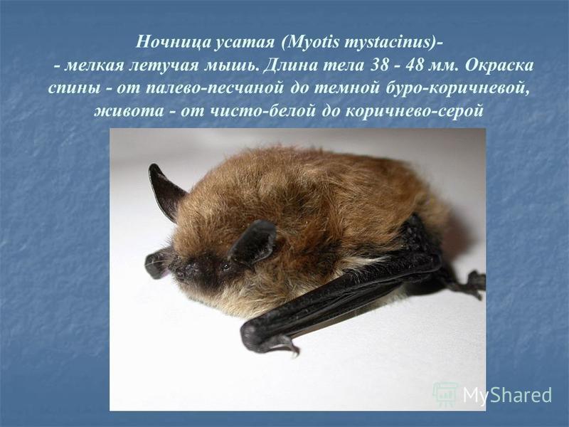 Ночница усатая (Myotis mystacinus)- - мелкая летучая мышь. Длина тела 38 - 48 мм. Окраска спины - от палево-песчаной до темной буро-коричневой, живота - от чисто-белой до коричнево-серой