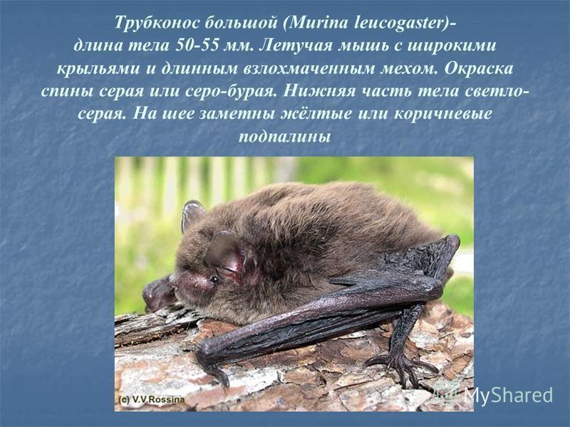 Трубконос большой (Murina leucogaster)- длина тела 50-55 мм. Летучая мышь с широкими крыльями и длинным взлохмаченным мехом. Окраска спины серая или серо-бурая. Нижняя часть тела светло- серая. На шее заметны жёлтые или коричневые подпалины