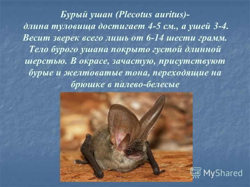 Бурый ушан (Plecotus auritus)- длина туловища достигает 4-5 см., а ушей 3-4. Весит зверек всего лишь от 6-14 шести грамм. Тело бурого ушана покрыто густой длинной шерстью. В окрасе, зачастую, присутствуют бурые и желтоватые тона, переходящие на брюшк