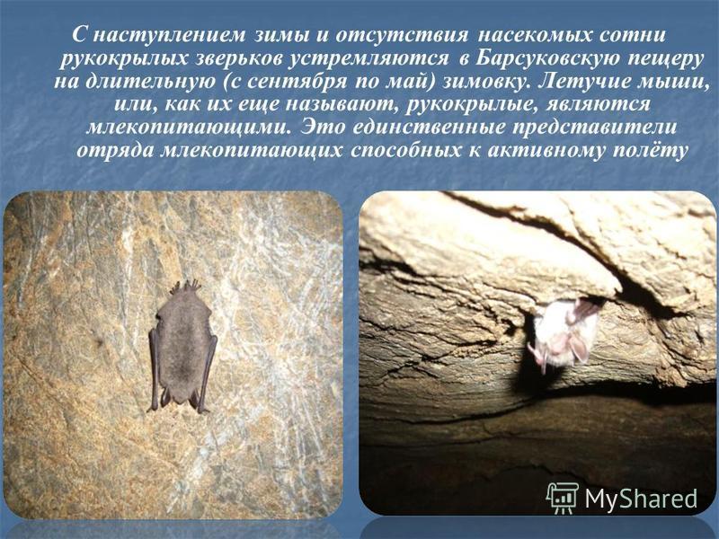 С наступлением зимы и отсутствия насекомых сотни рукокрылых зверьков устремляются в Барсуковскую пещеру на длительную (с сентября по май) зимовку. Летучие мыши, или, как их еще называют, рукокрылые, являются млекопитающими. Это единственные представи