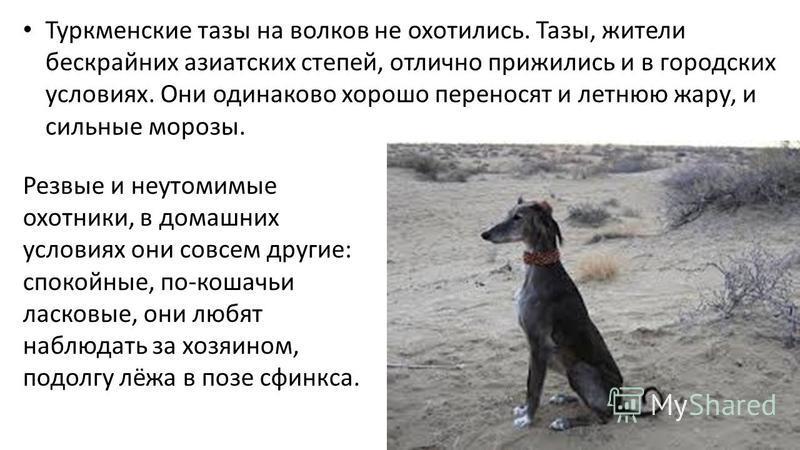 Туркменские тазы на волков не охотились. Тазы, жители бескрайних азиатских степей, отлично прижились и в городских условиях. Они одинаково хорошо переносят и летнюю жару, и сильные морозы. Резвые и неутомимые охотники, в домашних условиях они совсем