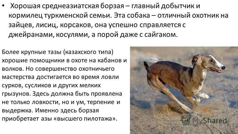 Хорошая среднеазиатская борзая – главный добытчик и кормилец туркменской семьи. Эта собака – отличный охотник на зайцев, лисиц, корсаков, она успешно справляется с джейранами, косулями, а порой даже с сайгаком. Более крупные тазы (казахского типа) хо