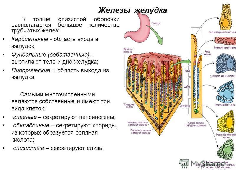 Железы желудка В толще слизистой оболочки располагается большое количество трубчатых желез: Кардиальные - область входа в желудок; Фундальные (собственные) – выстилают тело и дно желудка; Пилорические – область выхода из желудка. Самыми многочисленны