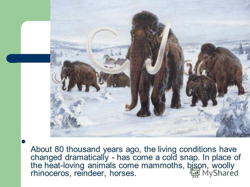 About 80 thousand years ago, the living conditions have changed dramatically - has come a cold snap. In place of the heat-loving animals come mammoths, bison, woolly rhinoceros, reindeer, horses.