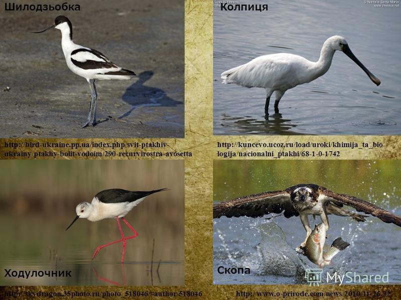 Шилодзьобка http://bird-ukraine.pp.ua/index.php/svit-ptakhiv- ukrainy/ptakhy-bolit-vodoim/290-recurvirostra-avosetta Колпиця http://kuncevo.ucoz.ru/load/uroki/khimija_ta_bio logija/nacionalni_ptakhi/68-1-0-1742 Ходулочник http://skydragon.35photo.ru/