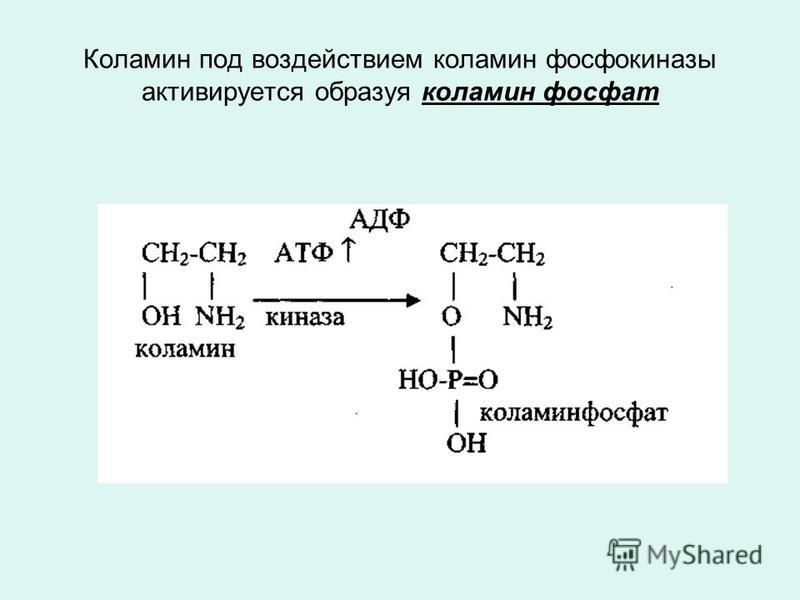 Коламин под воздействием коламин фосфокиназы активируется образуя коламин фосфат
