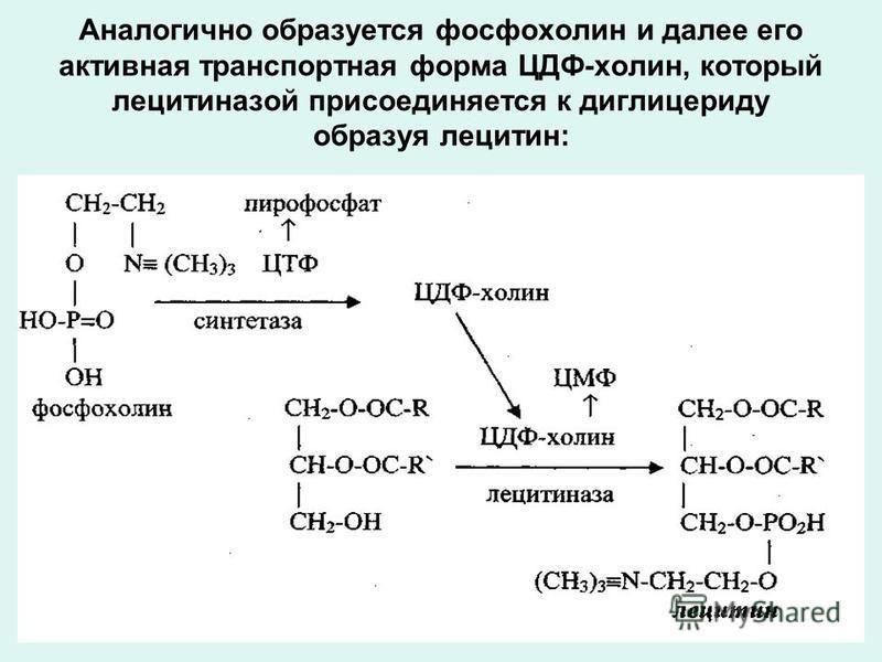 Аналогично образуется фосфохолин и далее его активная транспортная форма ЦДФ-холин, который лецитиназой присоединяется к диглицериду образуя лецитин: