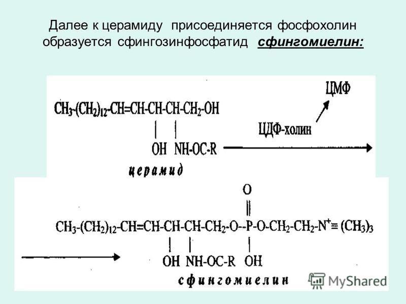 Далее к церамиду присоединяется фосфохолин образуется сфингозинфосфатид сфингомиелин:
