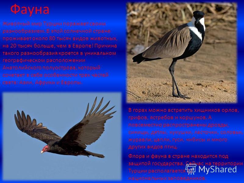 Фауна Животный мир Турции поражает своим разнообразием. В этой солнечной стране проживает около 80 тысяч видов животных, на 20 тысяч больше, чем в Европе! Причина такого разнообразия кроется в уникальном географическом расположении Анатолийского полу