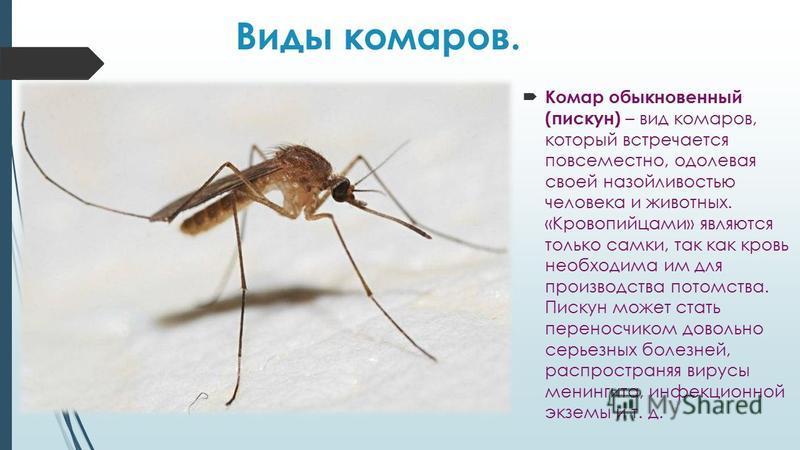 Виды комаров. Комар обыкновенный (пискун) – вид комаров, который встречается повсеместно, одолевая своей назойливостью человека и животных. «Кровопийцами» являются только самки, так как кровь необходима им для производства потомства. Пискун может ста