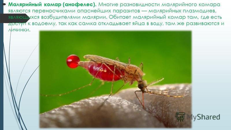 Малярийный комар (анофелес). Многие разновидности малярийного комара являются переносчиками опаснейших паразитов малярийных плазмодиев, являющихся возбудителями малярии. Обитает малярийный комар там, где есть доступ к водоему, так как самка откладыва