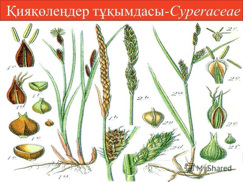 Қияқөлеңдер тұқымдацы-Cyperаceae