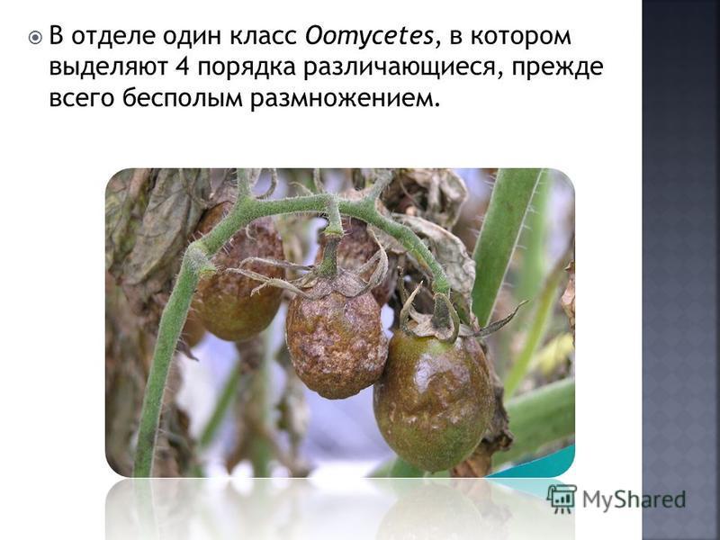 В отделе один класс Oomycetes, в котором выделяют 4 порядка различающиеся, прежде всего бесполым размножением.