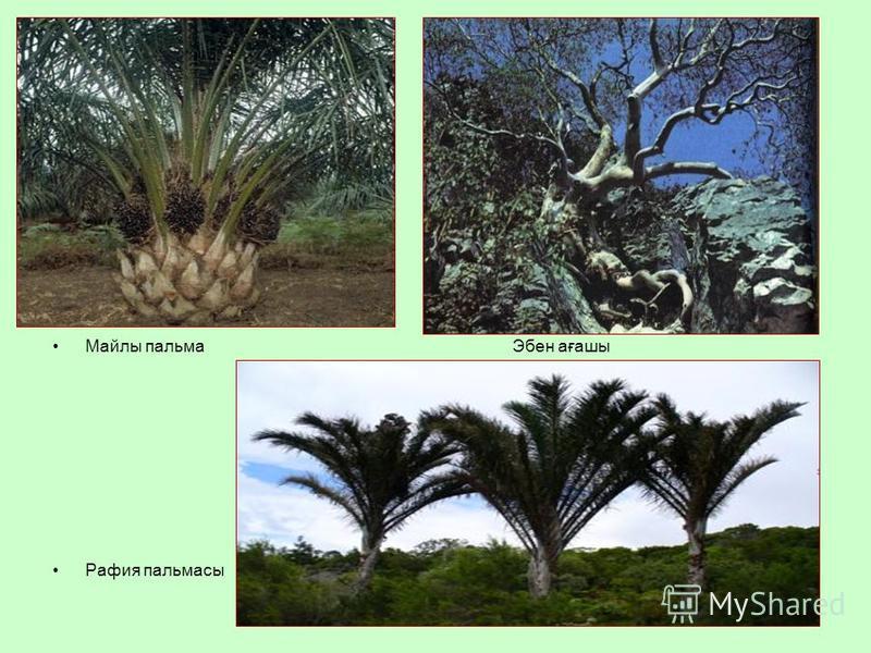 Майлы пальма Эбен ағашы Рафия пальмасы