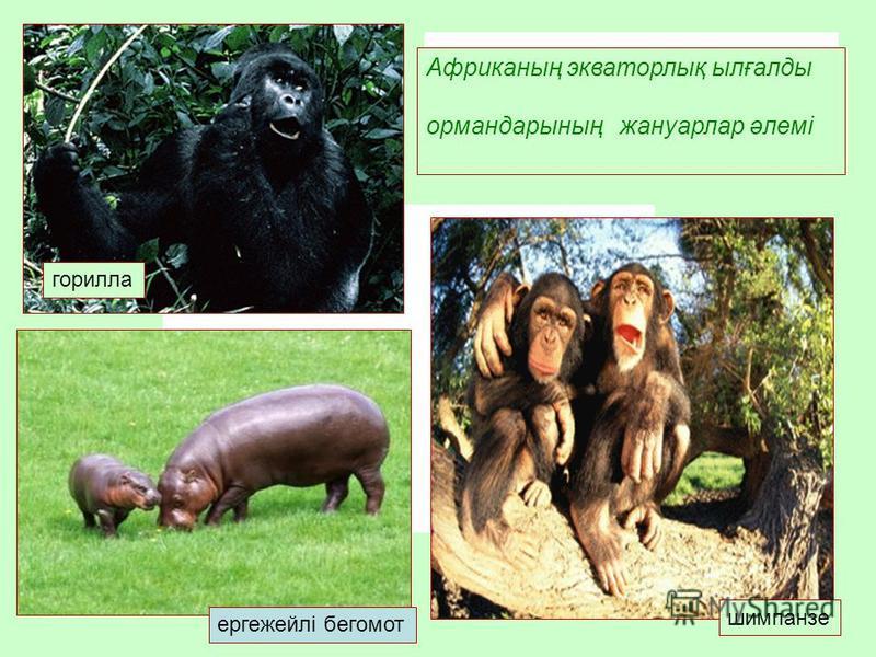ергежейлі бегемот горилла шимпанзе Африканың экваторлық ылғалды ормондарының жануарлар әлемі
