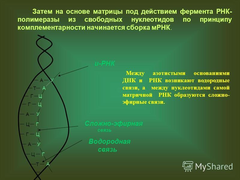 Затем на основе матрицы под действием фермента РНК- полимеразы из свободных нуклеотидов по принципу комплементарности начинается сборка мРНК. А Т Г Г А Ц Г А Ц Т У А Ц Ц У Г Ц У Г А и-РНК Между азотистыми основаниями ДНК и РНК возникают водородные св