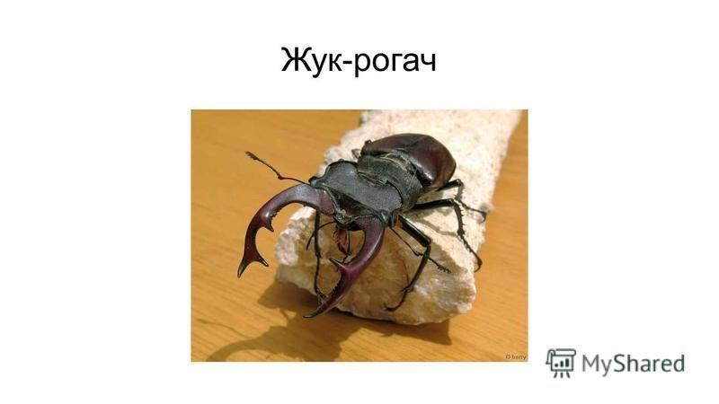 Жук-рогач