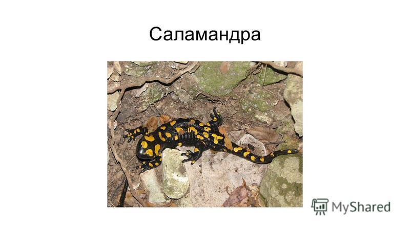 Саламандра