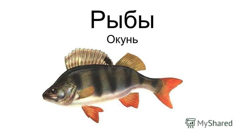 Рыбы Окунь