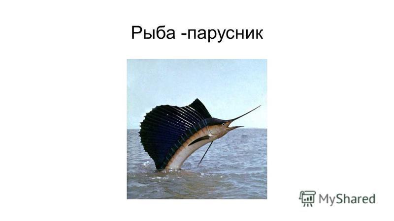 Рыба -парусник