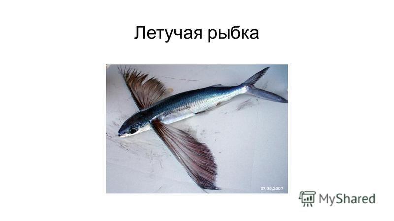 Летучая рыбка