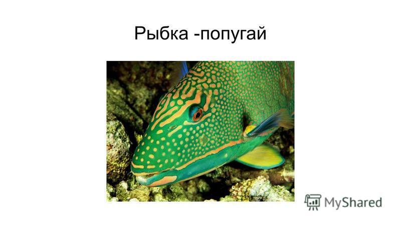 Рыбка -попугай