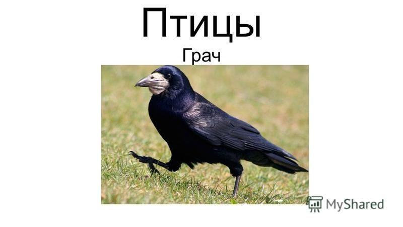 Птицы Грач