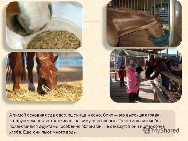 Летом лошади едят траву и плоды, которые выкапывают из земли. Они находят себе еду на поляне и на лугу, куда их выпускают пастись на целый день.
