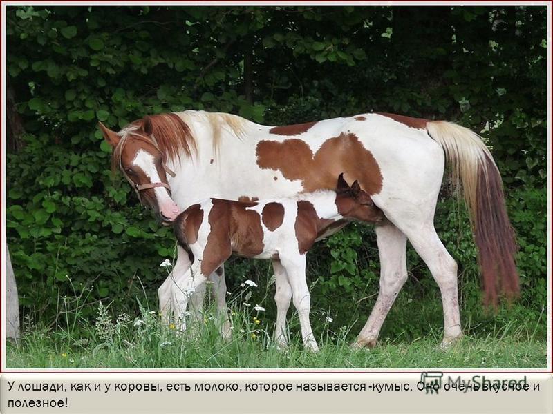 Лошади любят свою семью. Они защищают ее от врагов и даже отмахивают друг от друга хвостом разных насекомых (комаров, мух, слепней), которые так и норовят укусить их.