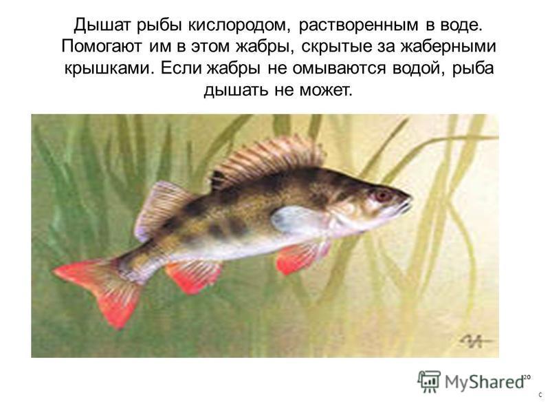Дышат рыбы кислородом, растворенным в воде. Помогают им в этом жабры, скрытые за жаберными крышками. Если жабры не омываются водой, рыба дышать не может.
