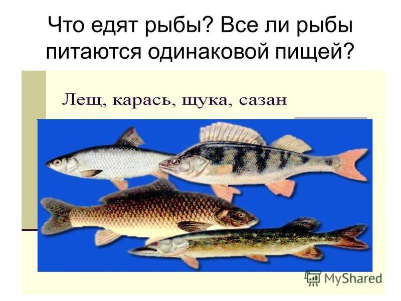 Что едят рыбы? Все ли рыбы питаются одинаковой пищей?