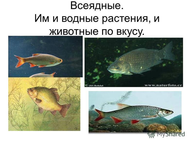 Всеядные. Им и водные растения, и животные по вкусу.