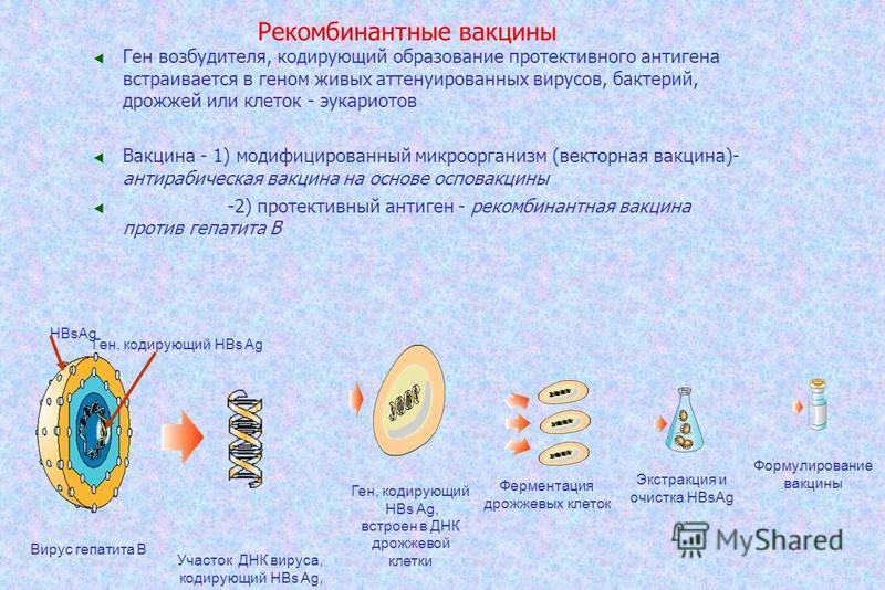 Рекомбинантные вакцины Ген возбудителя, кодирующий образование протективного антигена встраивается в геном живых аттенуированных вирусов, бактерий, дрожжей или клеток - эукариотов Вакцина - 1) модифицированный микроорганизм (векторная вакцина)- антир