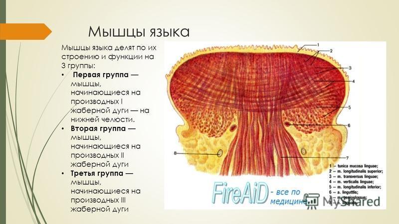Мышцы языка Мышцы языка делят по их строению и функции на 3 группы: Первая группа мышцы, начинающиеся на производных I жаберной дуги на нижней челюсти. Вторая группа мышцы, начинающиеся на производных II жаберной дуги Третья группа мышцы, начинающиес