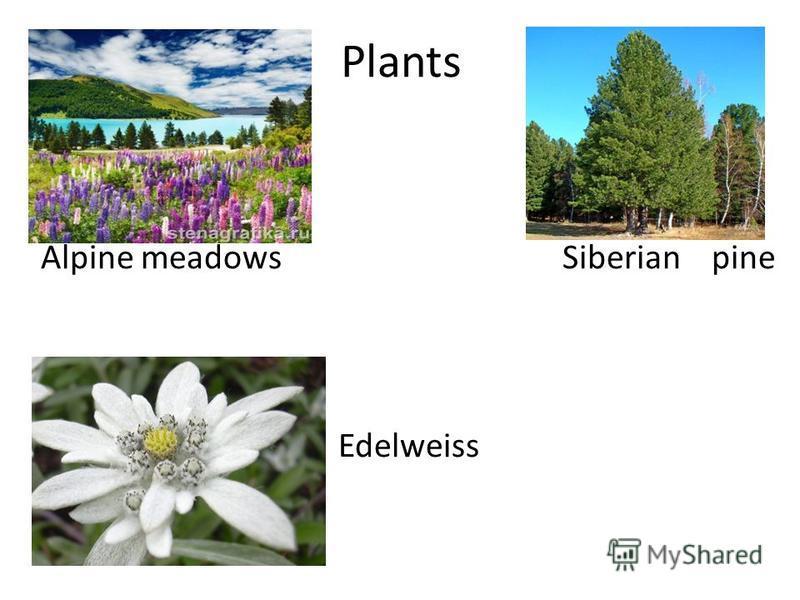 Plants Alpine meadows Siberian pine Edelweiss