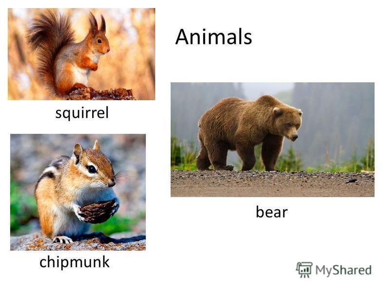 Animals squirrel bear chipmunk