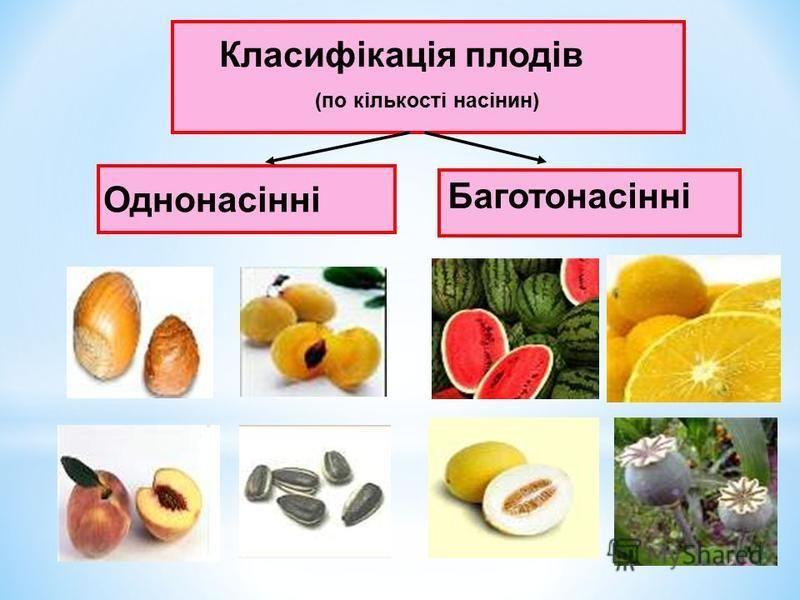 Класифікація плодів (по кількості насінин) Однонасінні Баготонасінні
