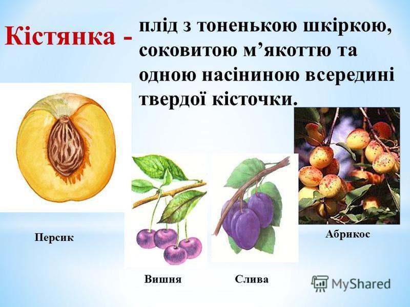 Кістянка - Абрикос Персик ВишняСлива плід з тоненькою шкіркою, соковитою мякоттю та одною насіниною всередині твердої кісточки.