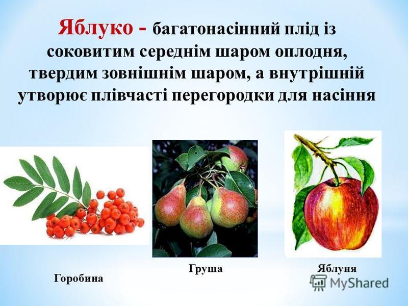 Яблуко - багатонасінний плід із соковитим середнім шаром оплодня, твердим зовнішнім шаром, а внутрішній утворює плівчасті перегородки для насіння Горобина ЯблуняГруша