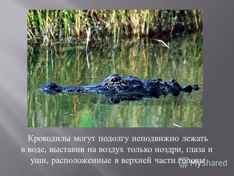 Крокодилы могут подолгу неподвижно лежать в воде, выставив на воздух только ноздри, глаза и уши, расположенные в верхней части головы
